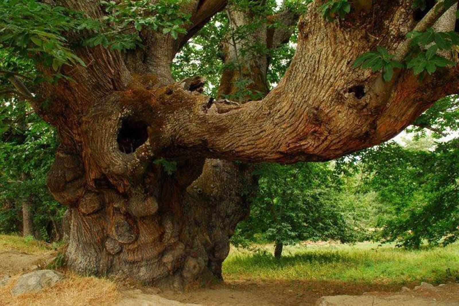 Els arbres milennaris són un dels espectacles més grans del món vegetal