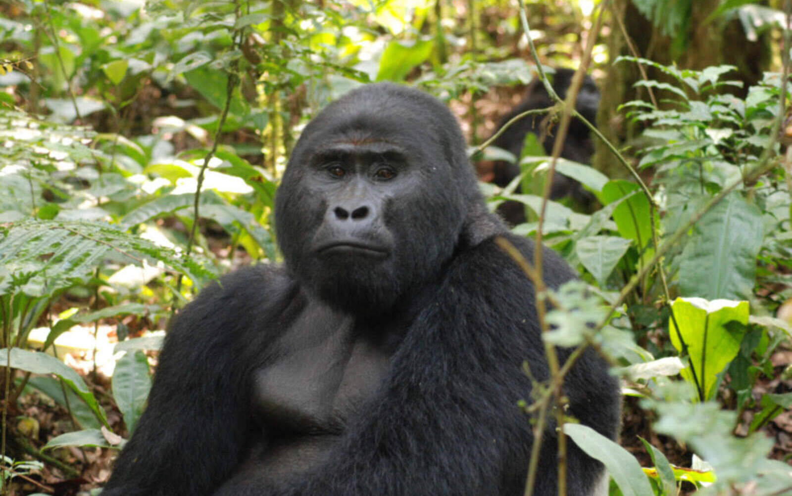 El goril·la Rafiki
