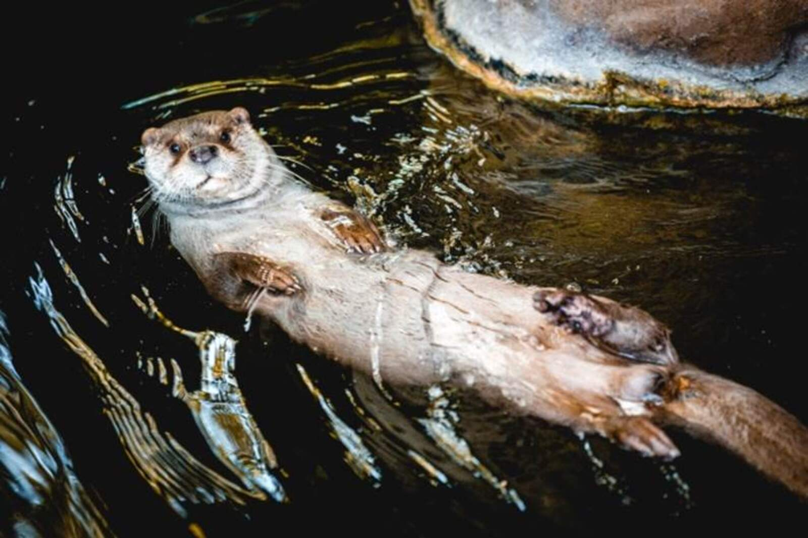 Imatge d'una llúdriga captada a la conca del Besòs