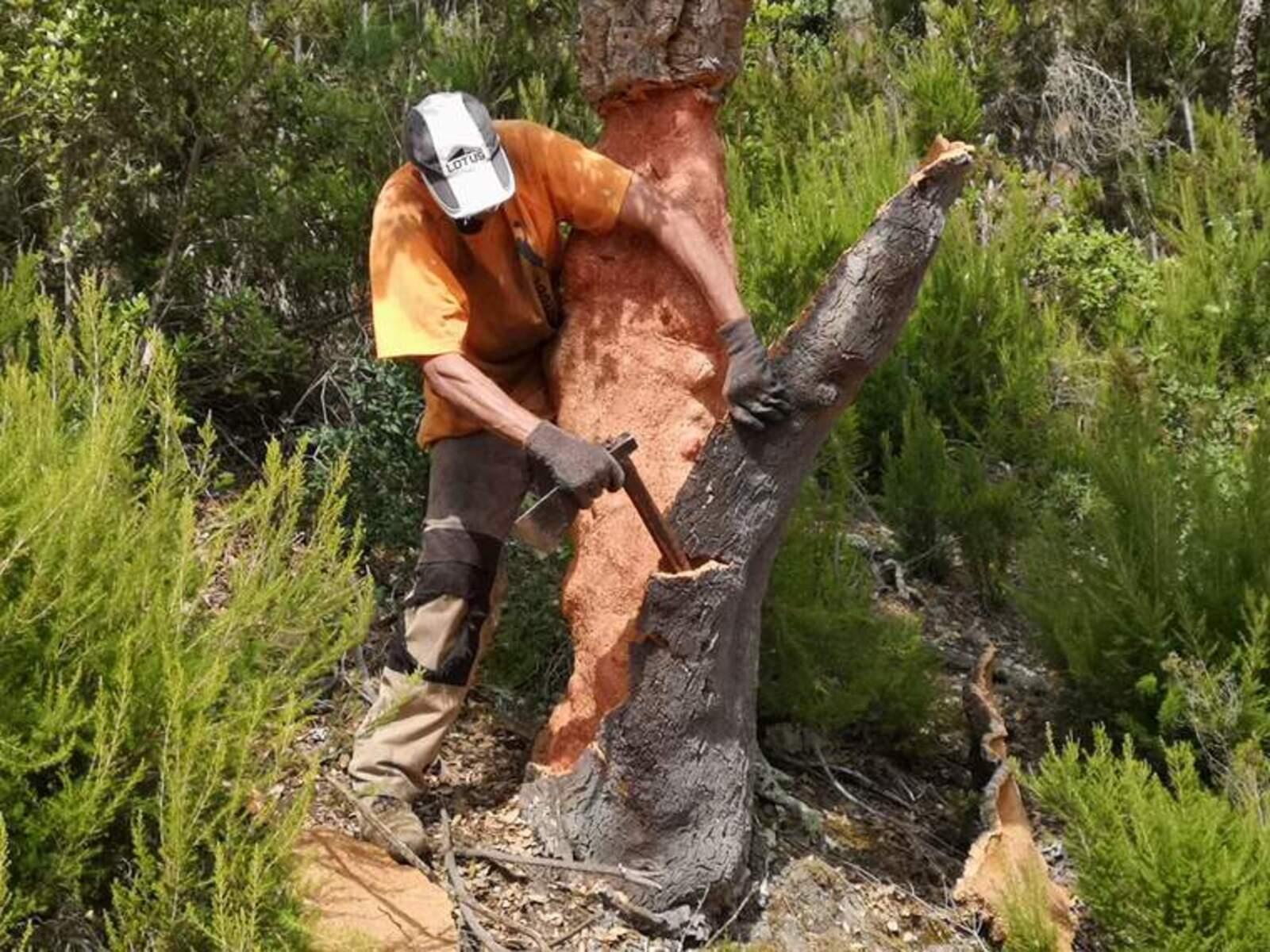 Un dels peladors acabant d'arrencar una de les planxes de suro d'una de les alzines amb el mànec de la destral