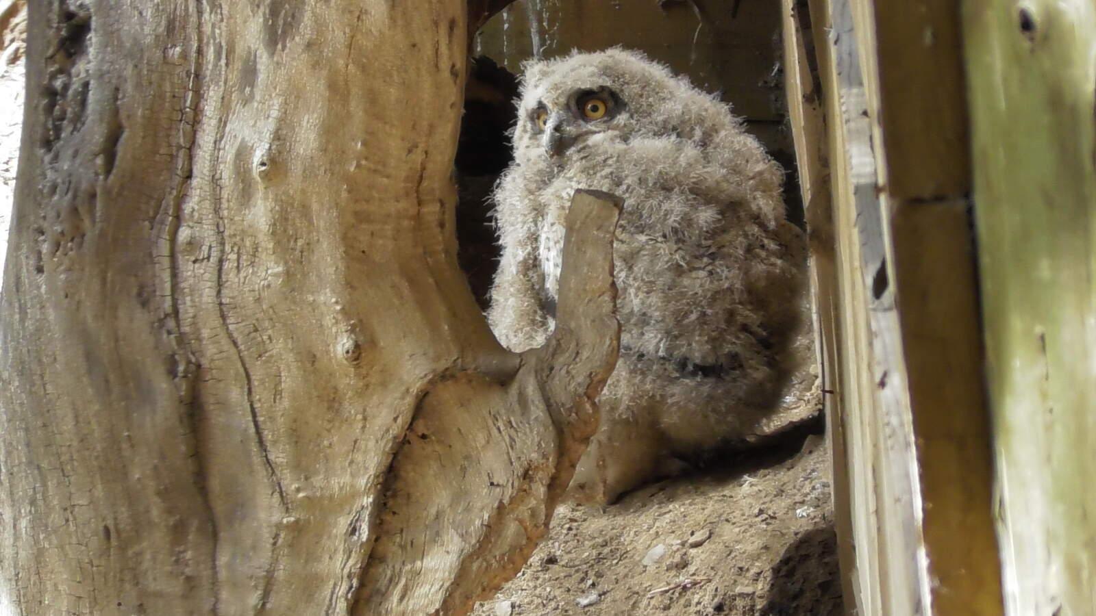Imatge d'una cria de duc al centre de fauna MónNatura Pirineus