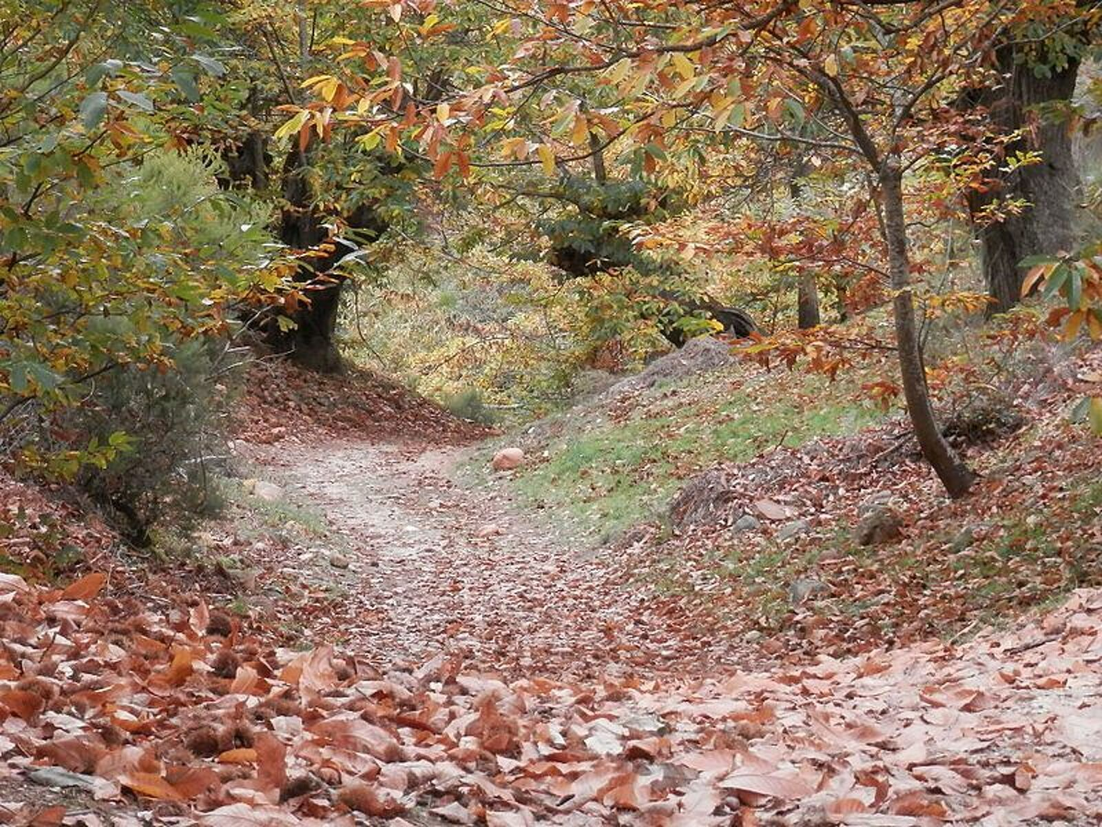 Bosc de castanyers a Ourense
