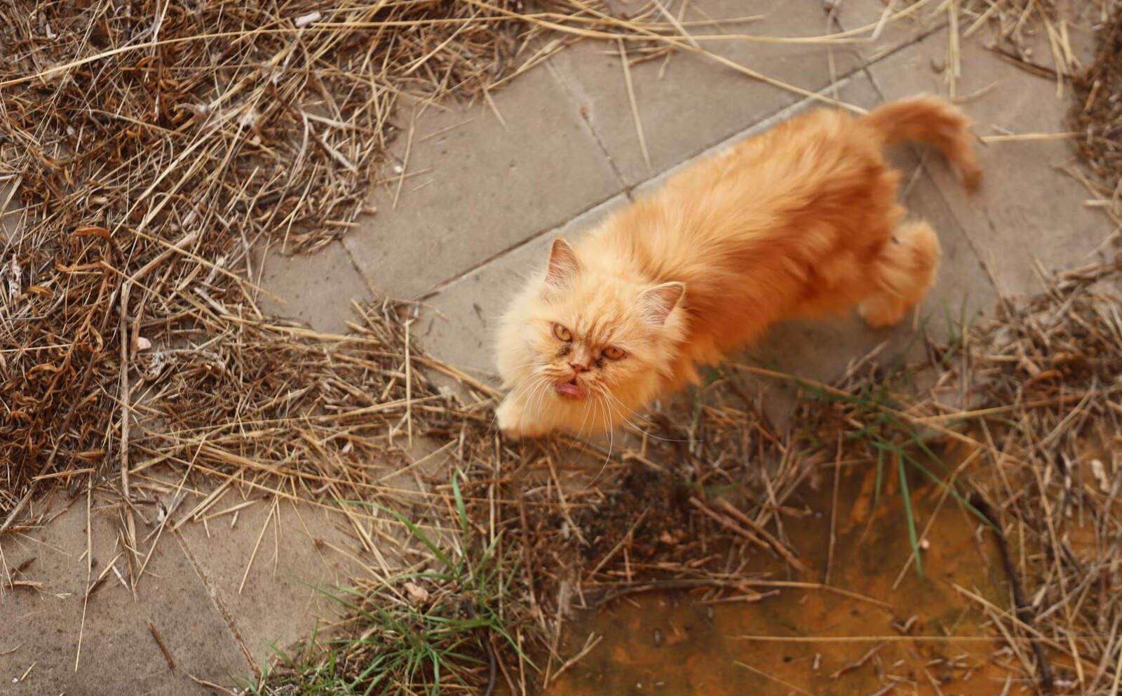 El gat atrapat en un solar de Terrassa del que no pot escapar