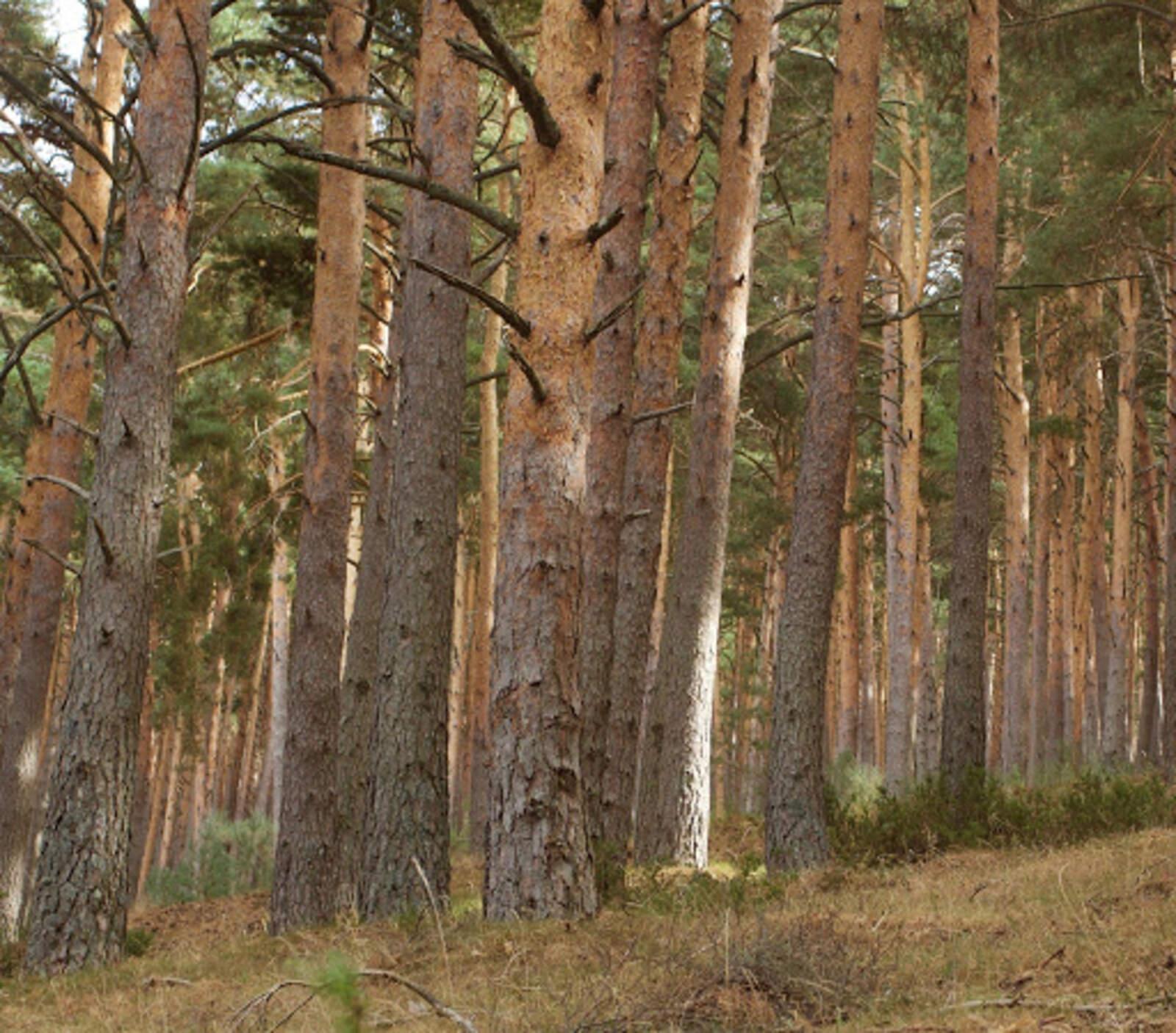 Un bosc de pi roig