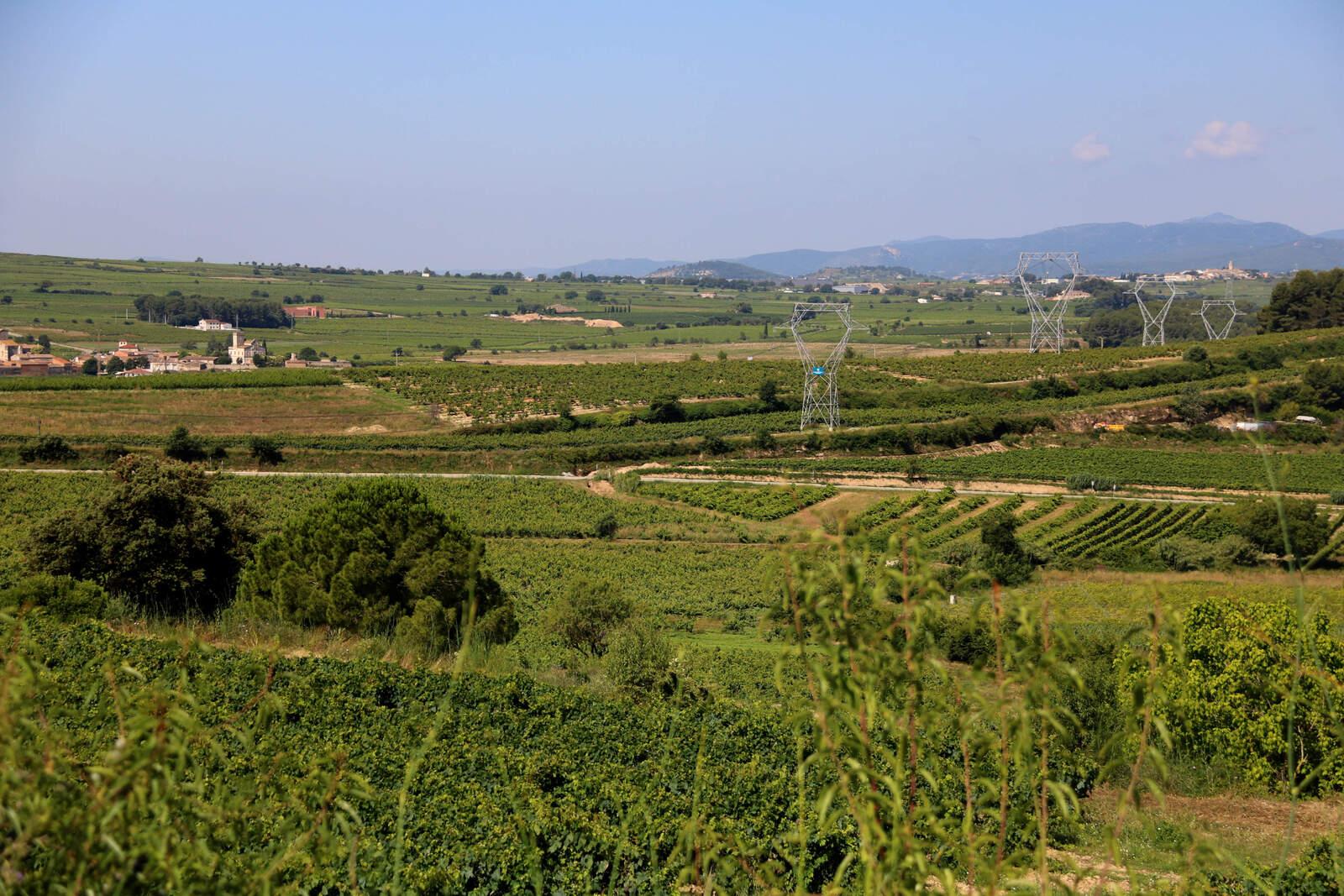 Paisatge de vinyes a l'Alt Penedès
