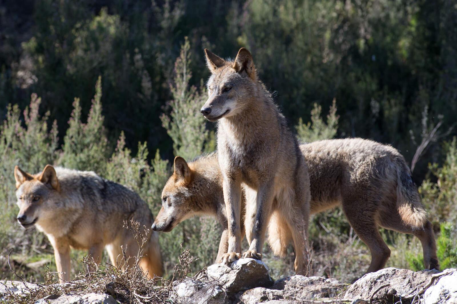 Grup de llops ibèrics