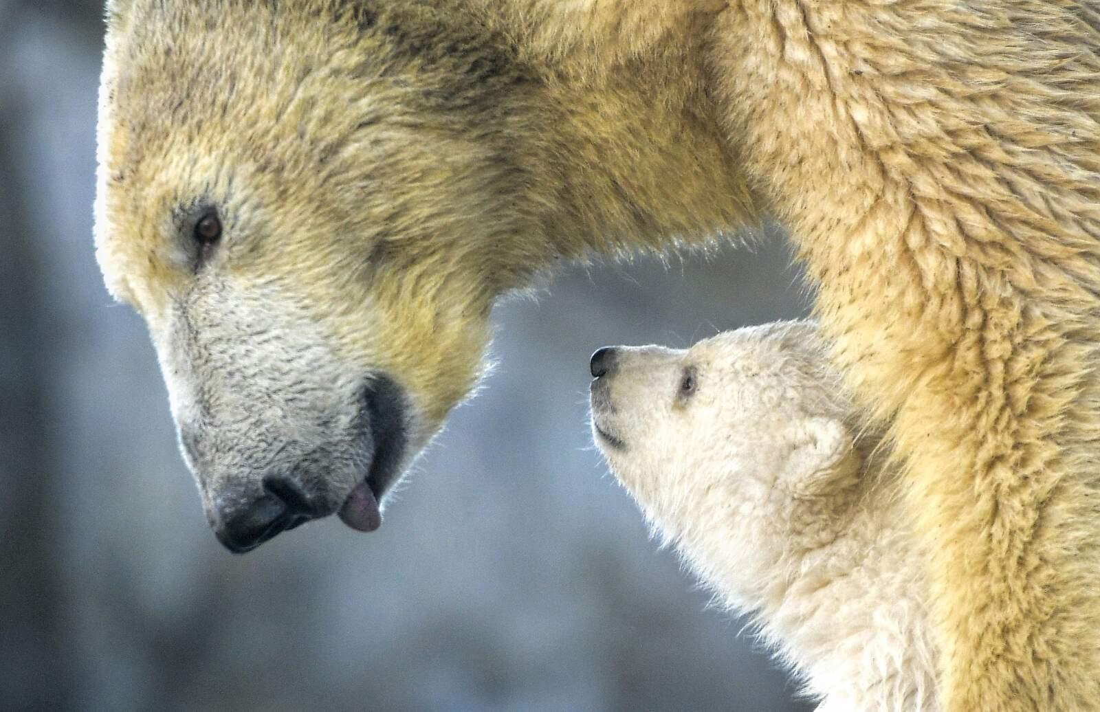 Ós polar amb la seva cria
