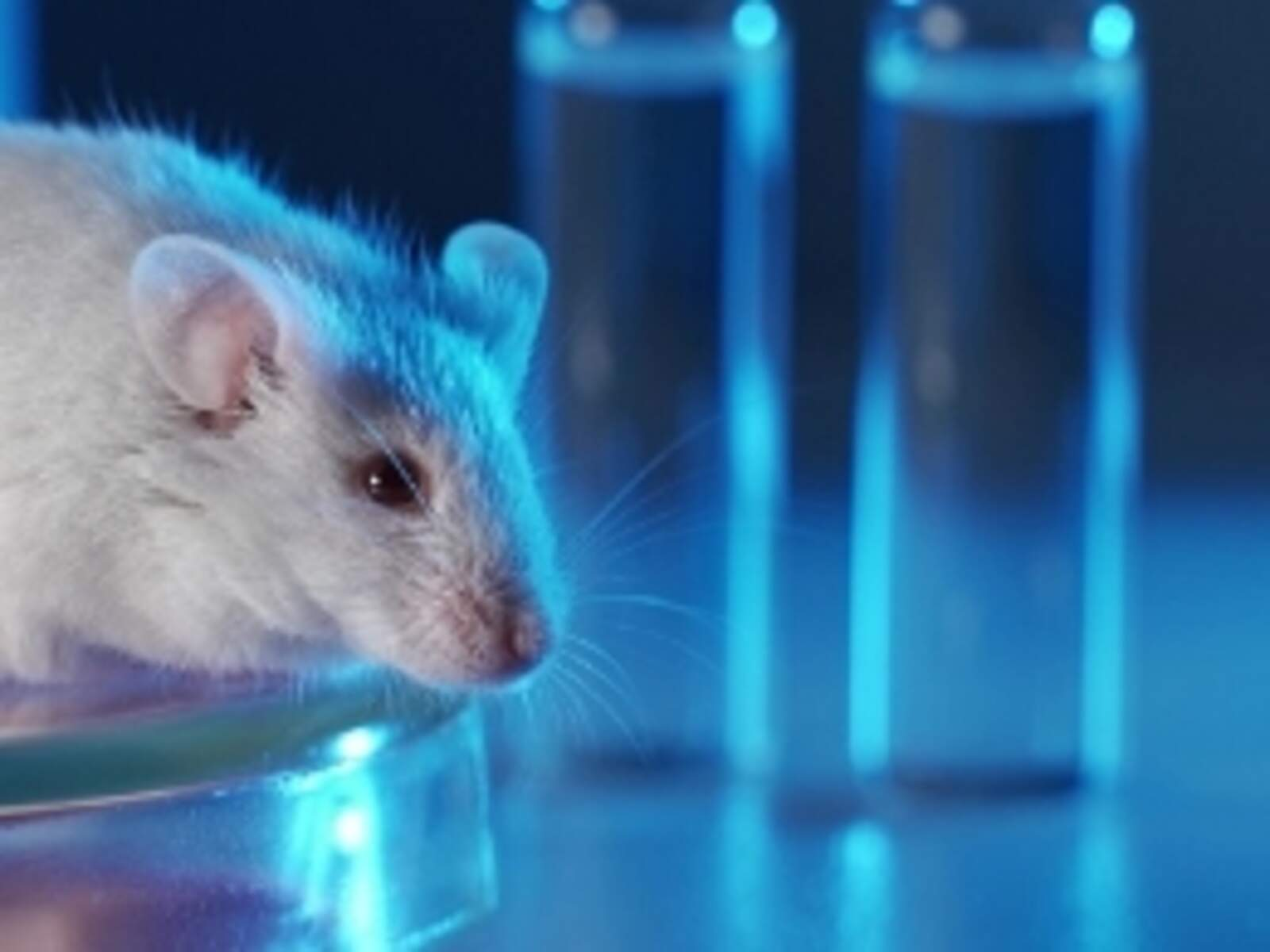 Ratolí en un laboratori