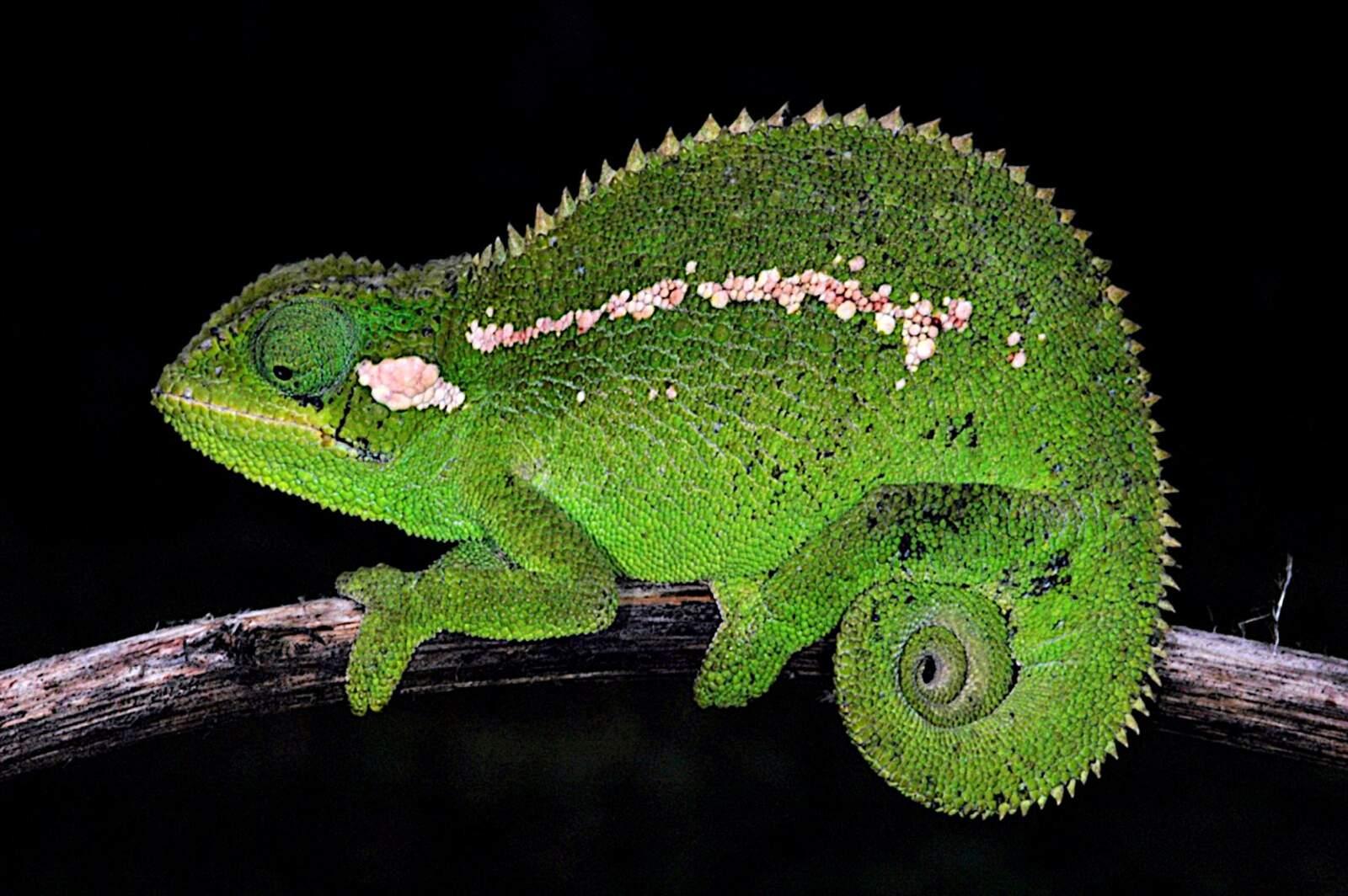 Trioceros wolfgangboehmei, el nou camaleó descobert a Etiopia