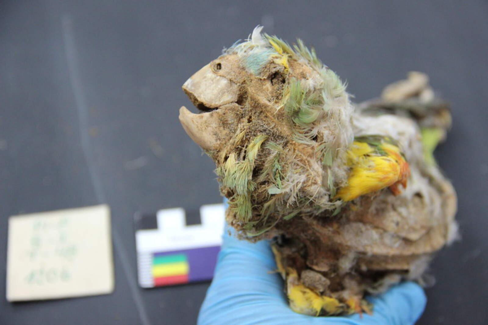 Un dels lloros momificats descoberts a Xile