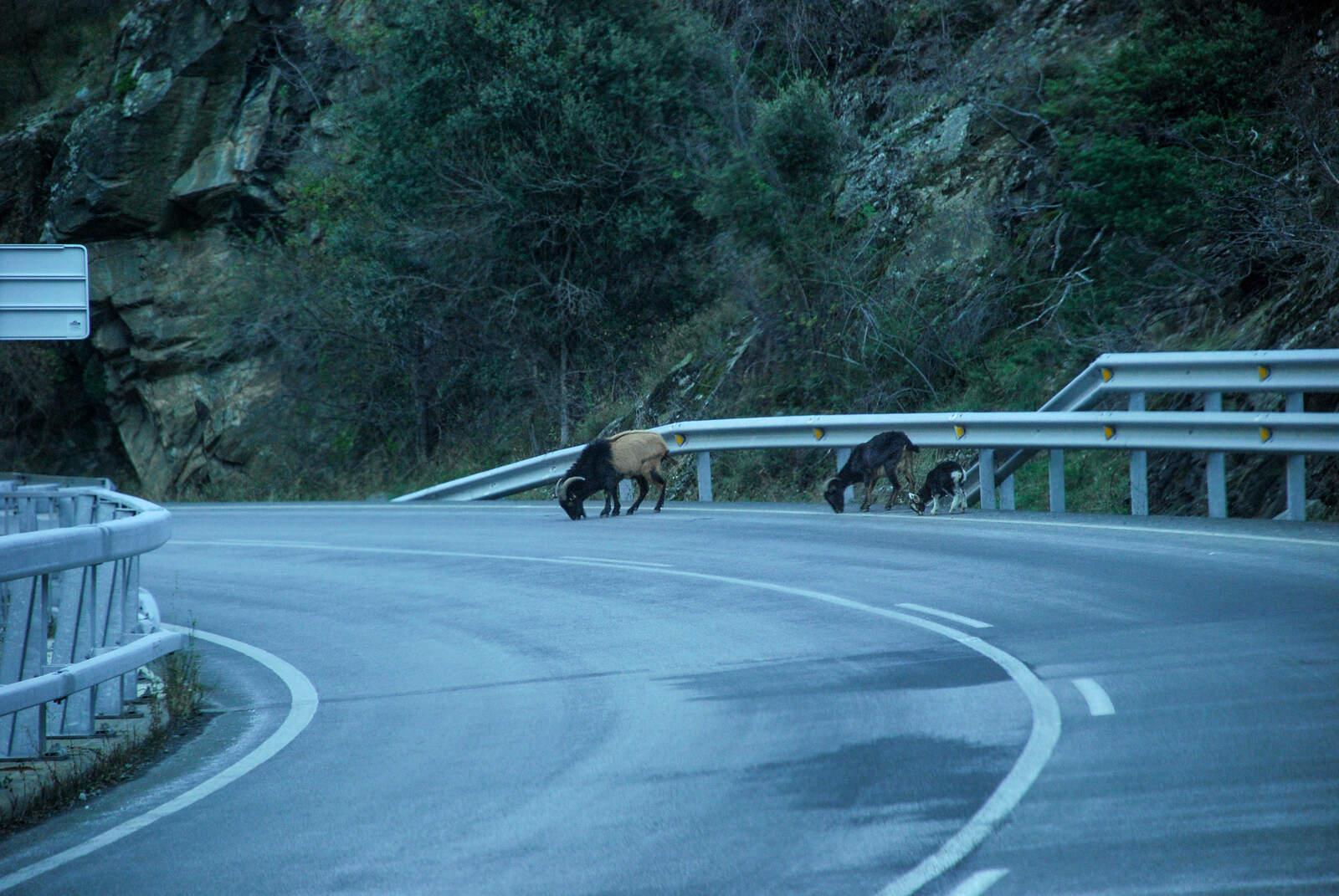 Cabres llepant la sal de la carretera a la C-13, entre Rialp i Llavorsí