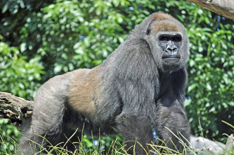 Goril·la de les planes occidentals    Heather Paul (CC)