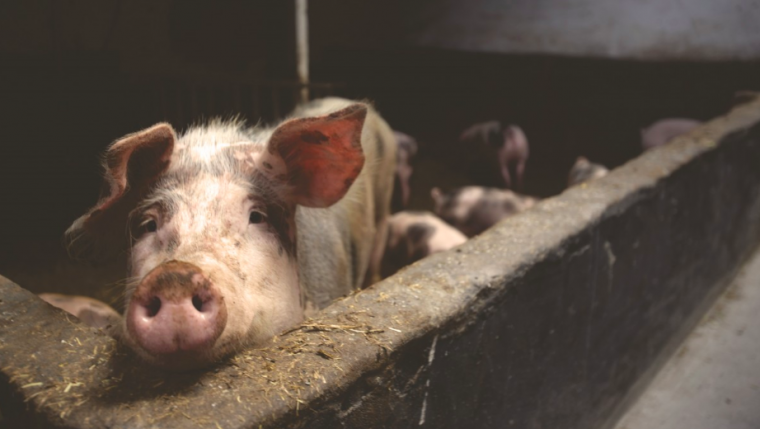 Porcs domèstics en una granja    Pxhere