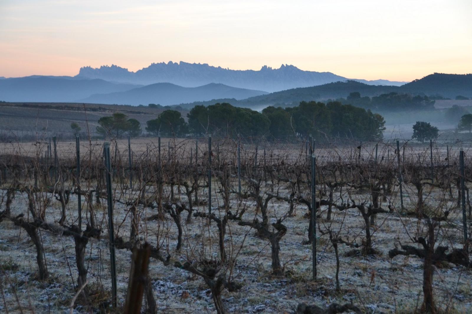 Algunes de les vinyes de Família Torres on s'ha dut a terme l'estudi  | Familia Torres