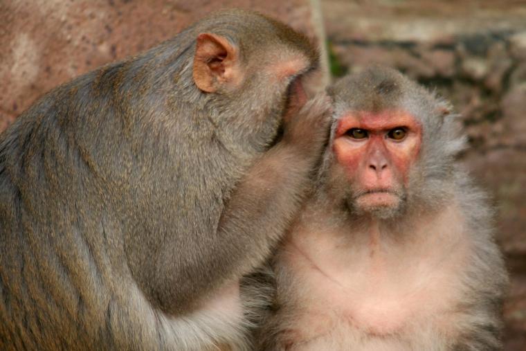 Dos micos rhesus al zoològic de Rotterdam, als Països Baixos  | Jinterwas (Flickr)