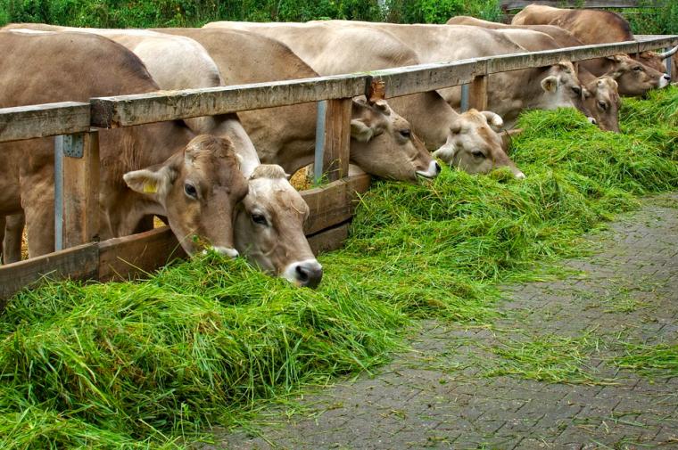 Vaques alimentant-se a una granja, en una imatge d'arxiu    Domini Públic