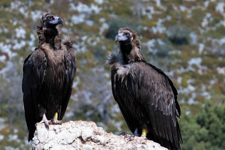 Dos exemplars de voltor negre als Pirineus  | Departament de Territori i Sostenibilitat