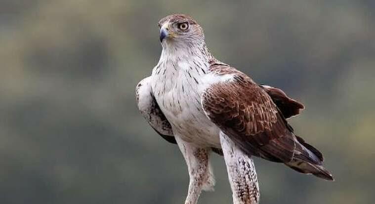 Àguila cuabarrada  | Endesa