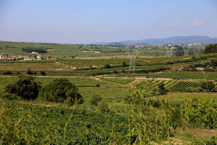 Paisatge de vinyes a l'Alt Penedès  | ACN