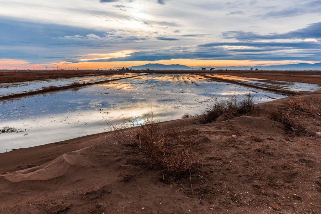 Un arrossar del Delta a Deltebre. Alguns terrenys d'agrícoles de l'interior es troben per sota del nivell del mar    Jordi Borràs