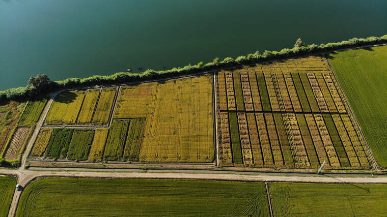 Imatge aèria dels camps experimentals del Delta Organic Rice al delta de l'Ebre on es testeja el cultiu d'arròs ecològic  | ACN