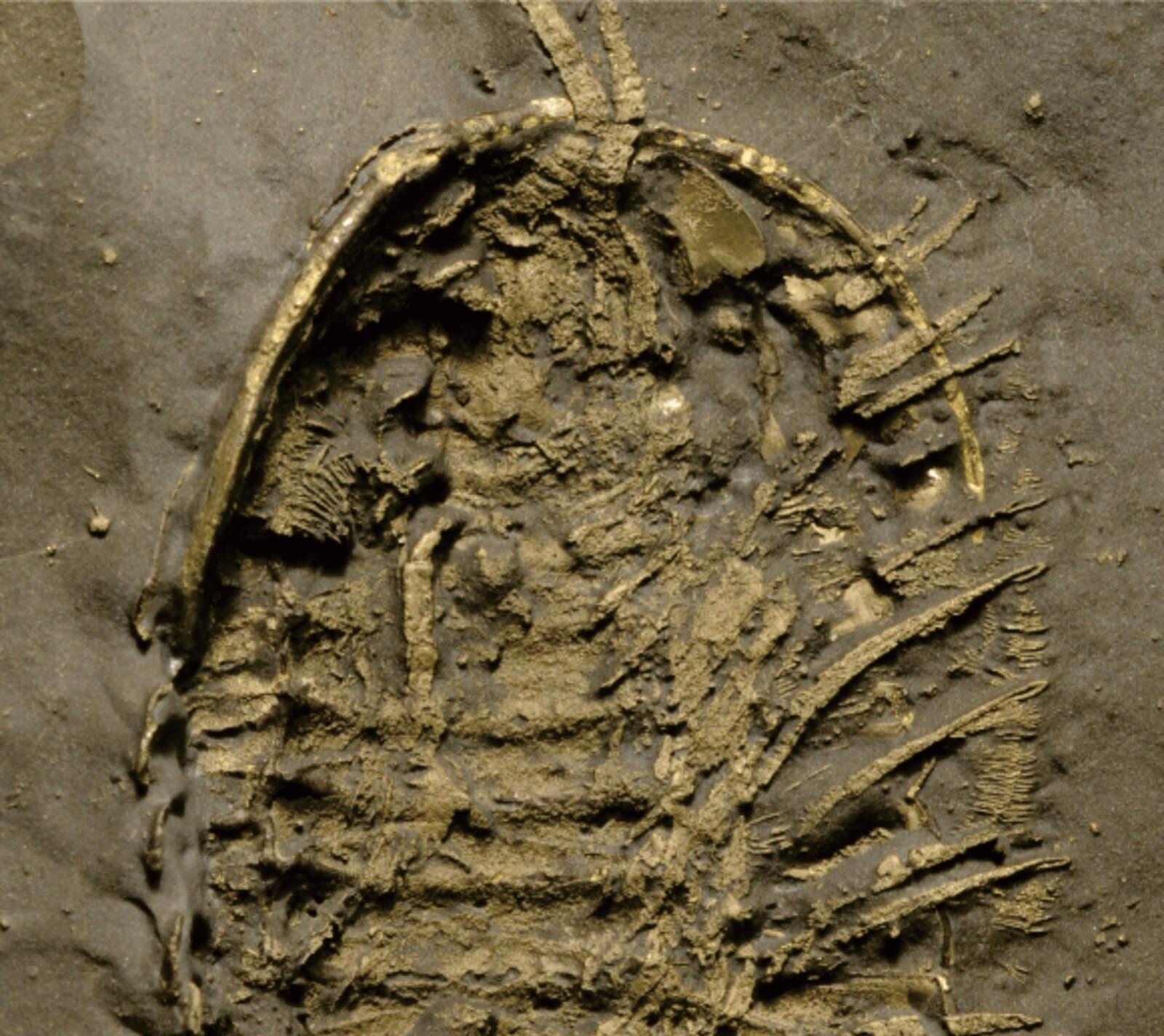 Trilobite conservat en pirita
