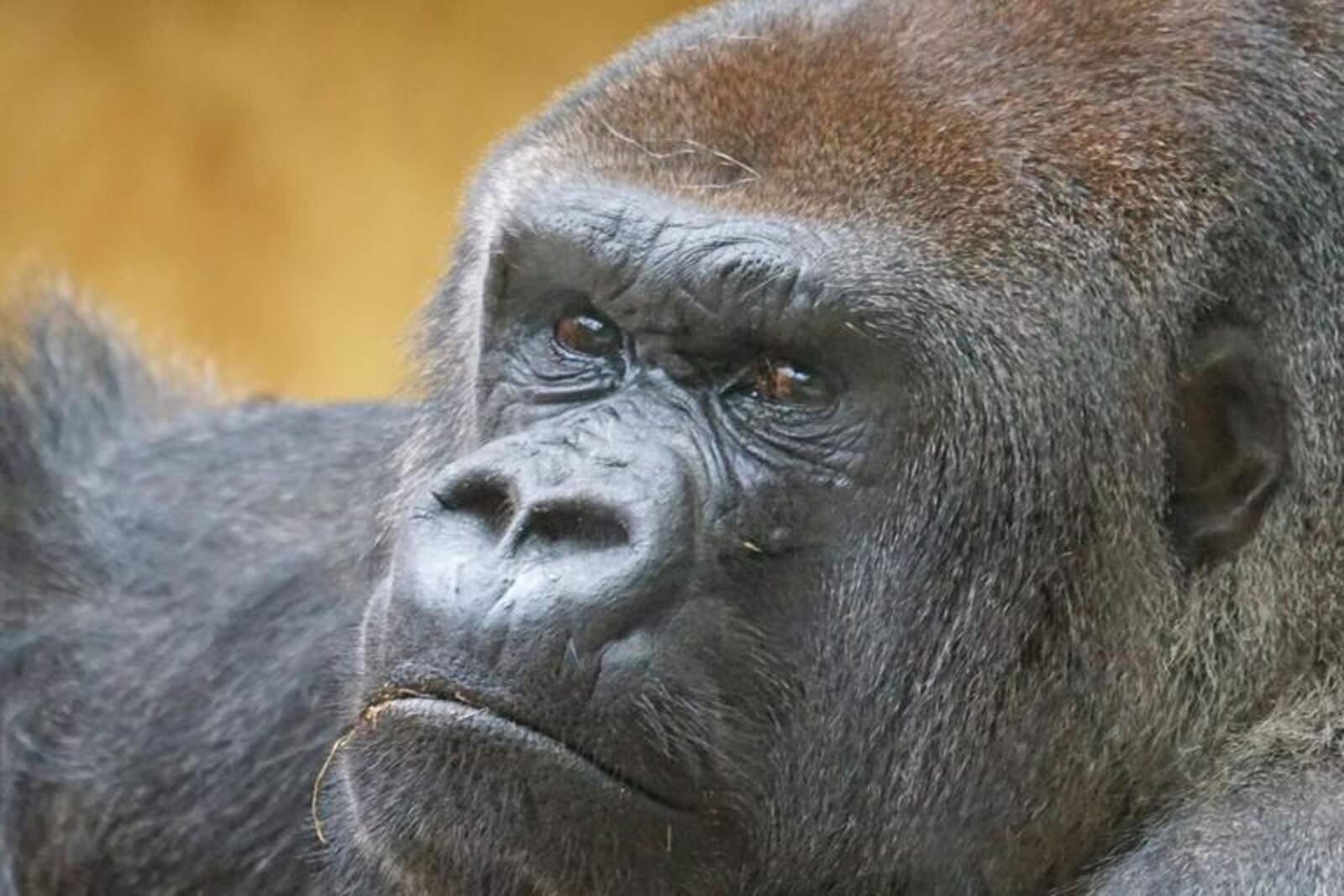 Goril·la