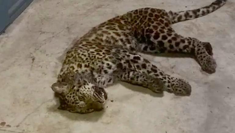 Un dels tres lleopards escapats a la Xina, un cop capturat i sedat | Districte de Fuyang