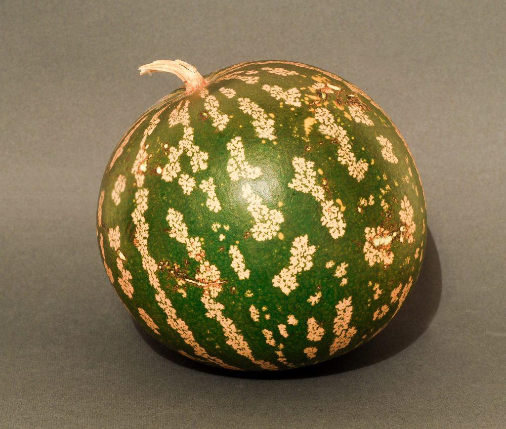 El meló de Kordofan, l'avantpassat més proper de la síndria   Wikimedia Commons