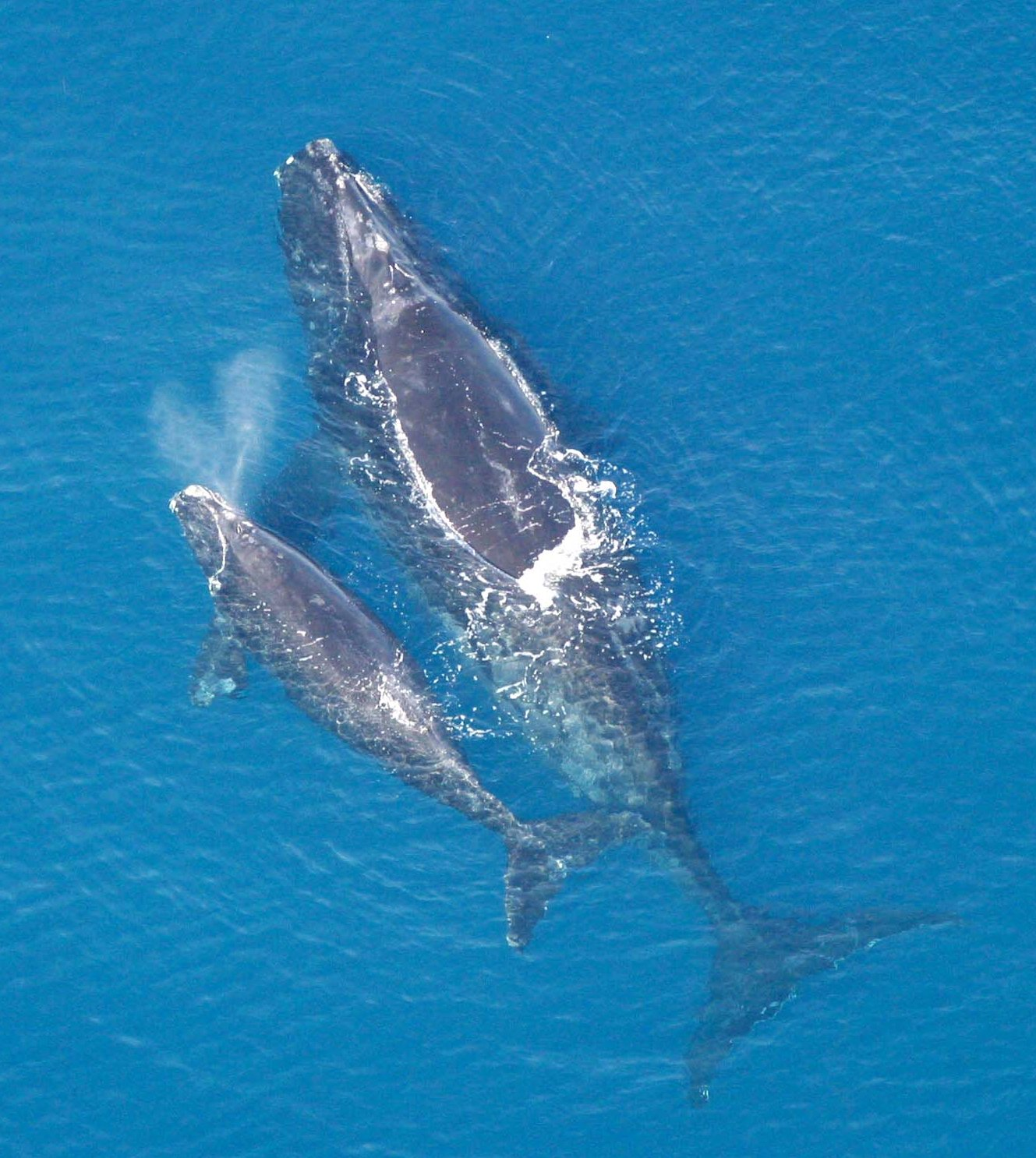 Una balena franca de l'Atlàntic Nord amb la seva cria | Wikimedia Commons