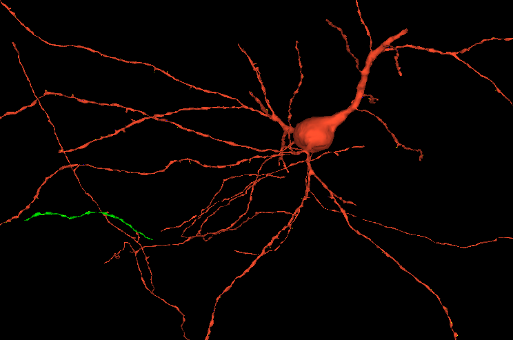 Una neurona i els seus axons | Lichtman Lab/Harvard University/Connectomics Team/Google