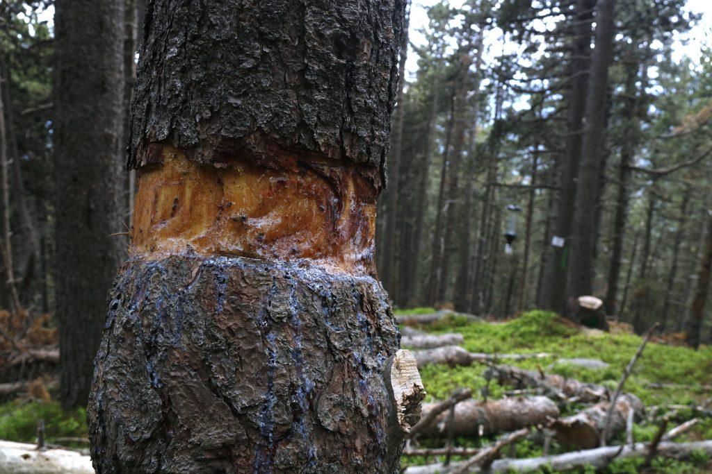 Un tronc d'arbre pelat a la muntanya de Setcases (Ripollès)   ACN