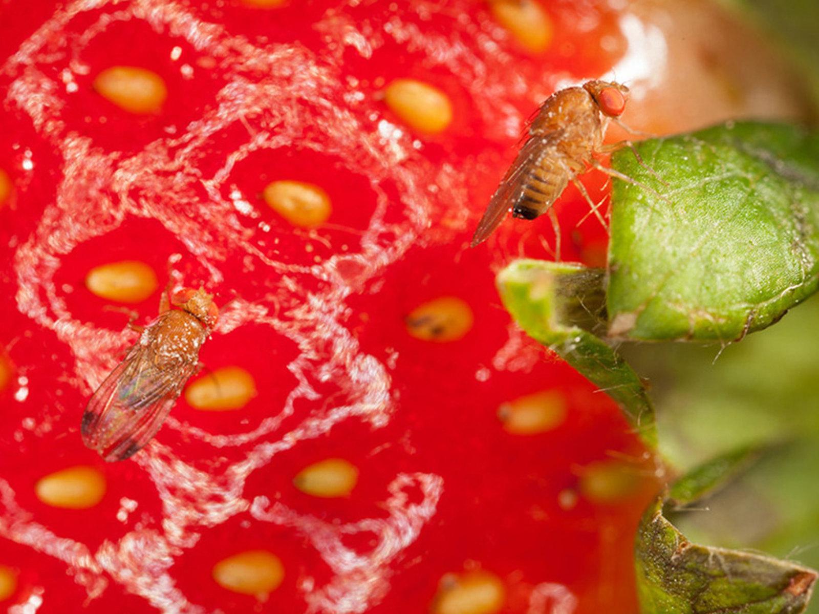 Drosophila suzukii | Agroscope (CC)