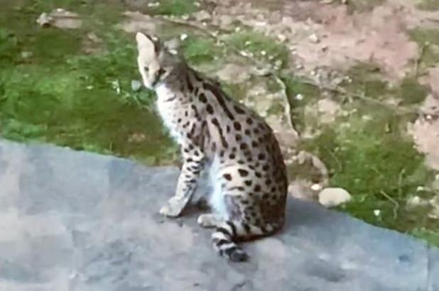 El gat serval aparegut a Geòrgia | Departament de Recursos Naturals de Geòrgia