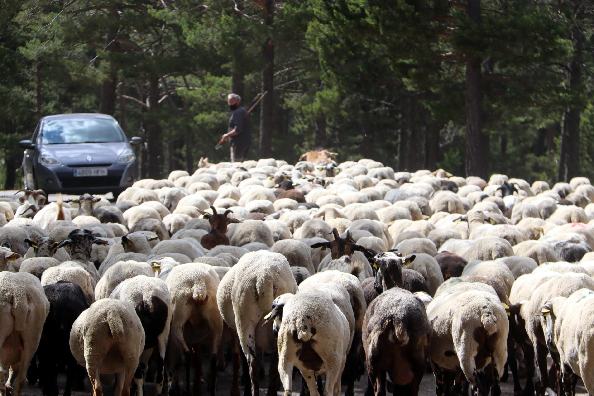 Un ramat d'ovelles als peu del Pedraforca amb el pastor al fons | ACN