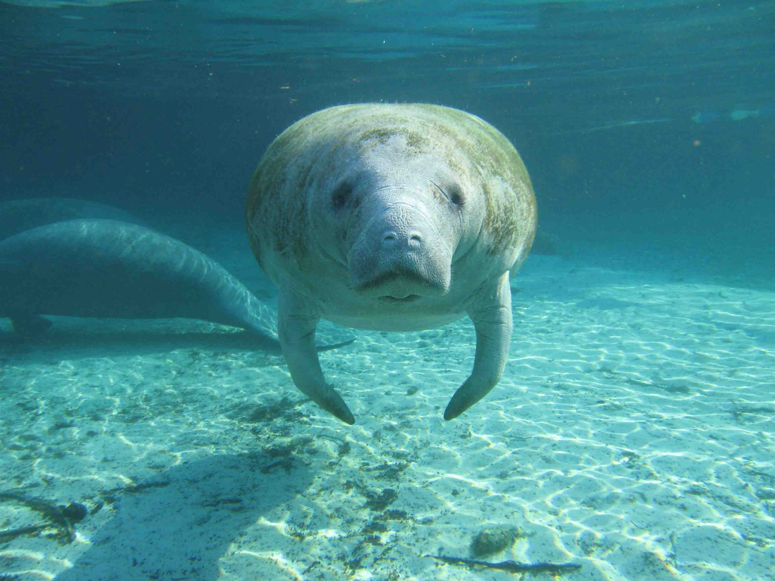 Un manatí de Florida | Wikimedia Commons