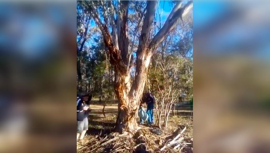 El koala en el moment de ser retornat a la natura | Cedida