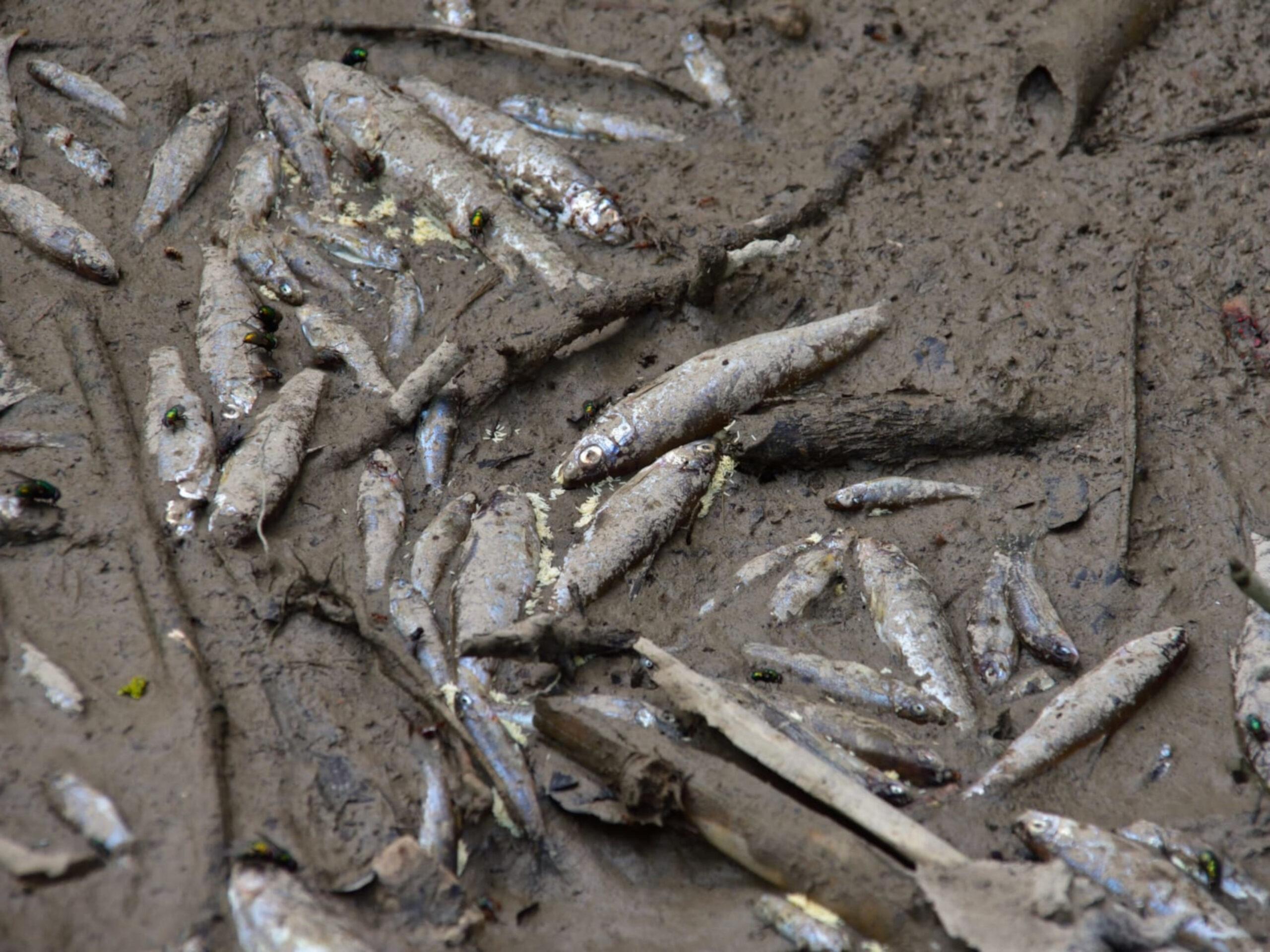 Peixos morts al riu Foix | ACN