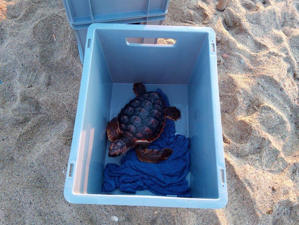 Una de les tortugues alliberades   Departament d'Acció Climàtica
