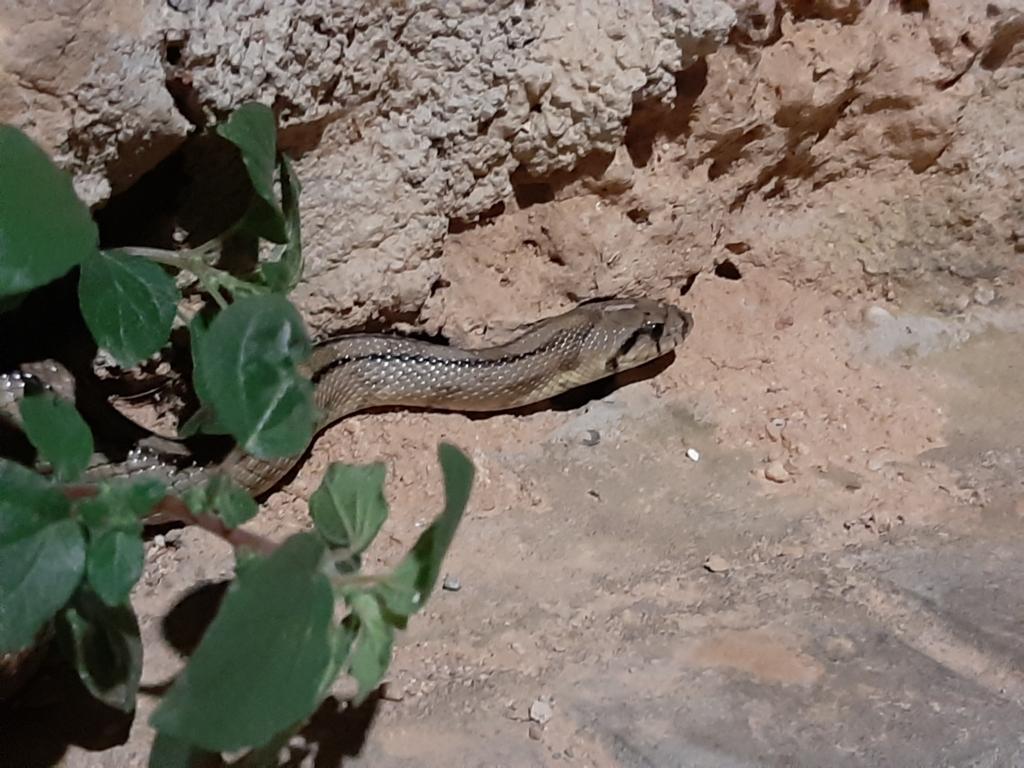 Serp blanca (Rinechis scalaris), una espècie que es troba a Catalunya / Jaume Marlès