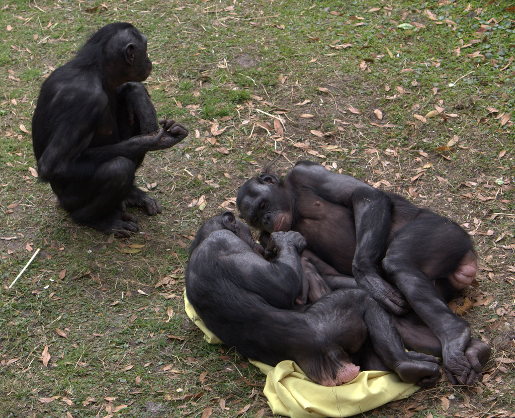 Bonobos | LaggedOnUser / Flickr