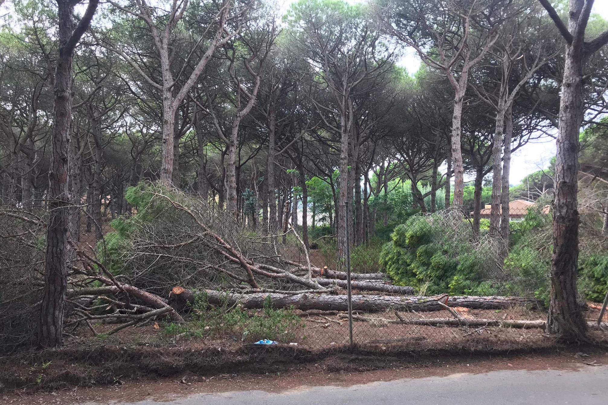 Tala d'arbres a la Pineda de la Fosca de Palamós | ACN