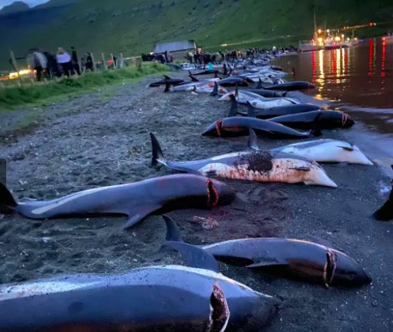 Dofins morts a les Faroe   Sea Shepherd
