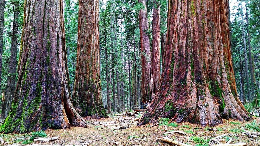 Sequoies | Pxfuel