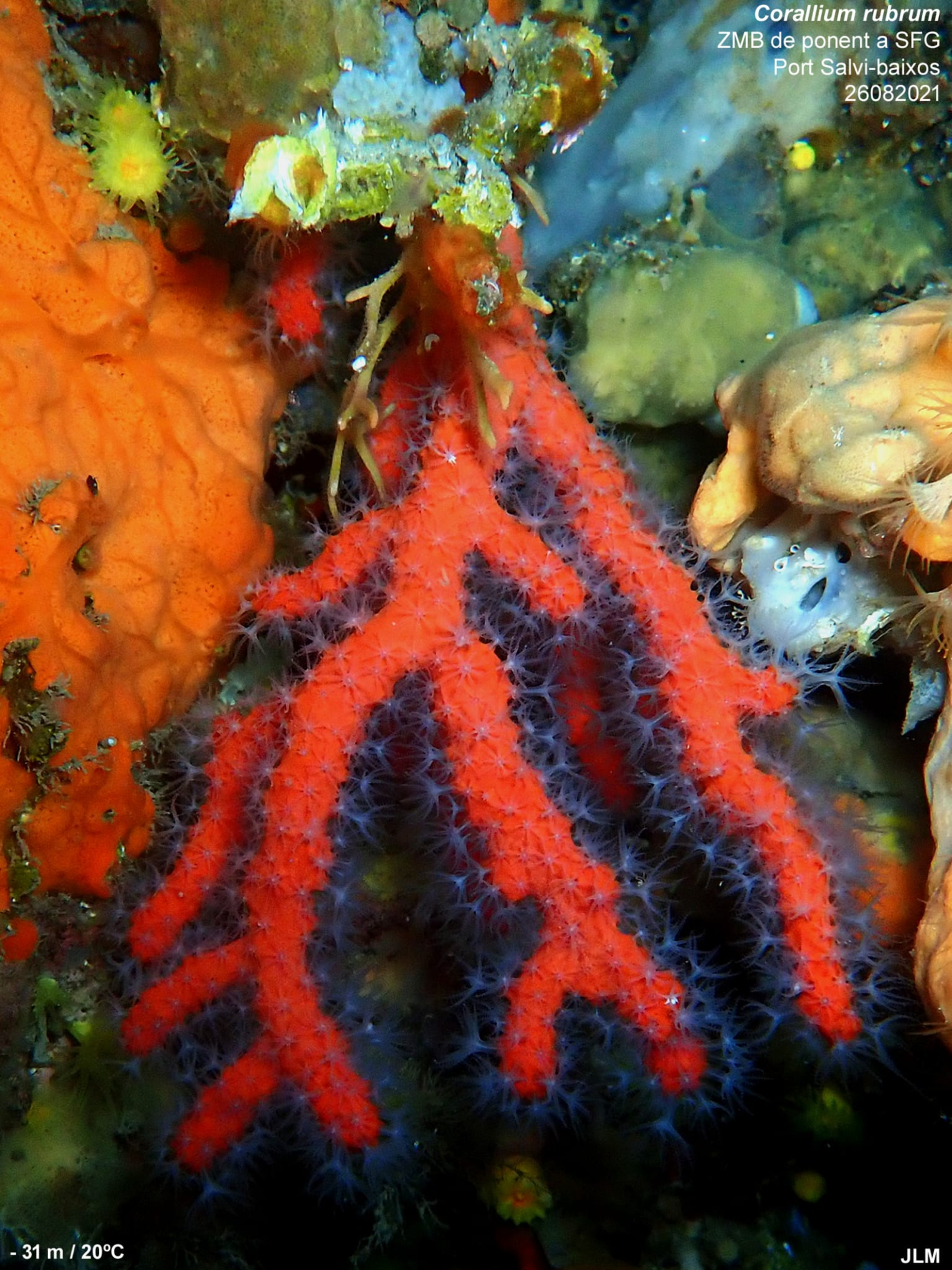 La branca de corall vermell desapareguda a Sant Feliu de Guíxols | ACN