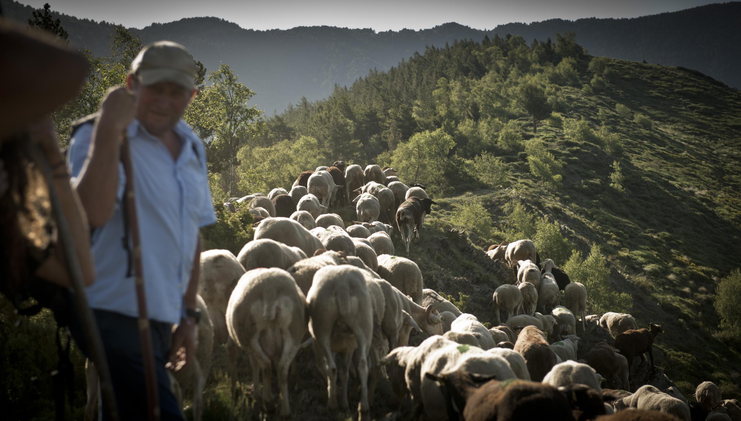Un pastor que apareix al documental 'El No a l'Os' amb el seu ramat   ACN